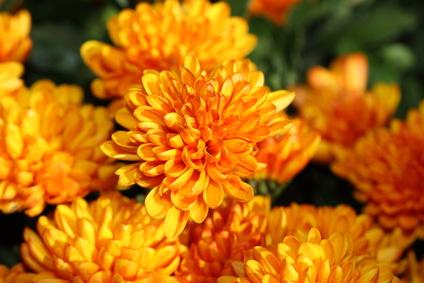 fleurs de chrysanthèmes